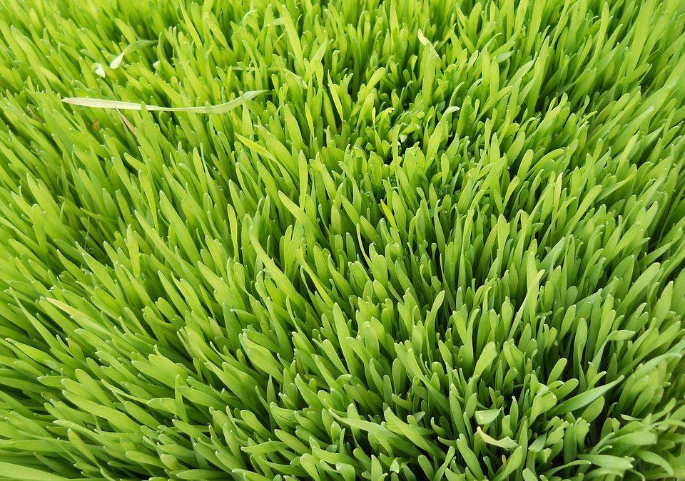 Le jus d'herbe d'orge pour renforcer les gencives